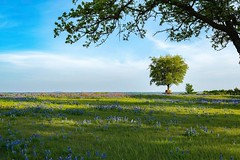 This scene captured country living for me. A bench under a tree surrounded by Bluebonnets and Indian Paintbrush. I can hear nature looking at this image. I can see myself here drinking a good cup of coffee in the morning.
