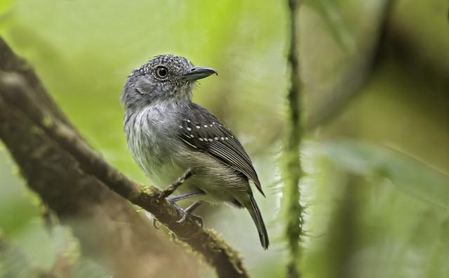 Dysithamnus puncticeps - Spot-crowned Antvireo - Batarito Coronipunteado - Hormiguiero Coronipunteado male 02