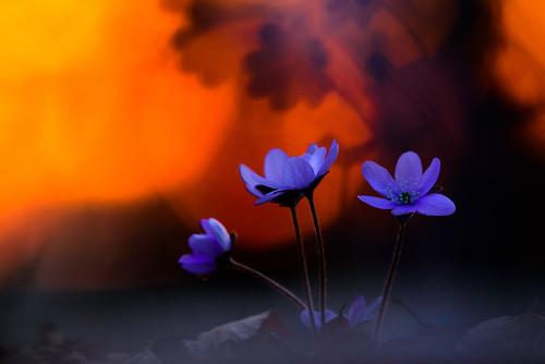 Leberblümchen im Sonnenuntergang II