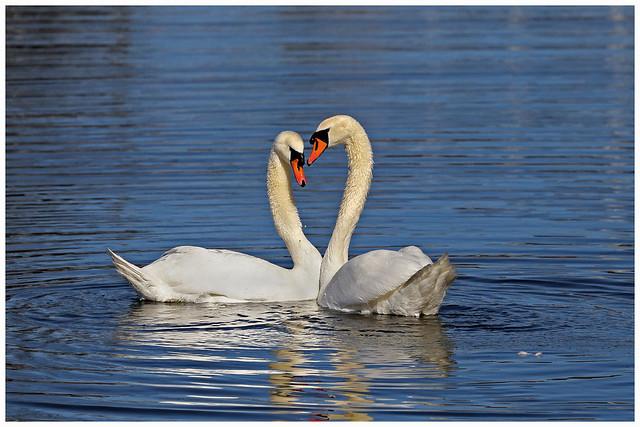 Knopsvaner - Mute swans