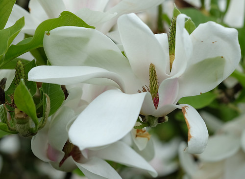 fleurs magnolias