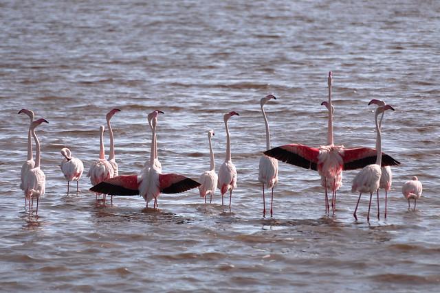 African Flamingos - Serengeti