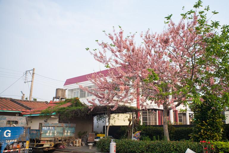 台南私藏景點--西港金砂里花旗木 (1)