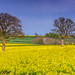 Somerset Rapeseed Field