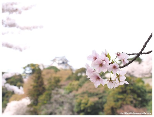 Cherry blossoms 20140412 #02