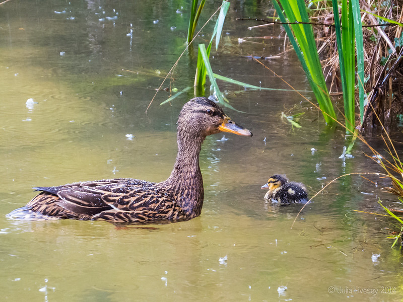 The rain isn't bothering this Mum and her duckling