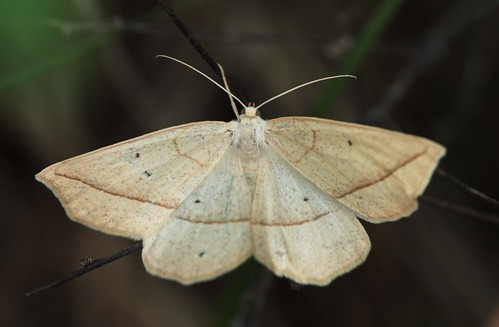 northcarolina moths geometridae ennominae richmondcounty confusedeusarca eusarcaconfusaria eusarca ourapterygini geometridmoths geometroidea hodges6941