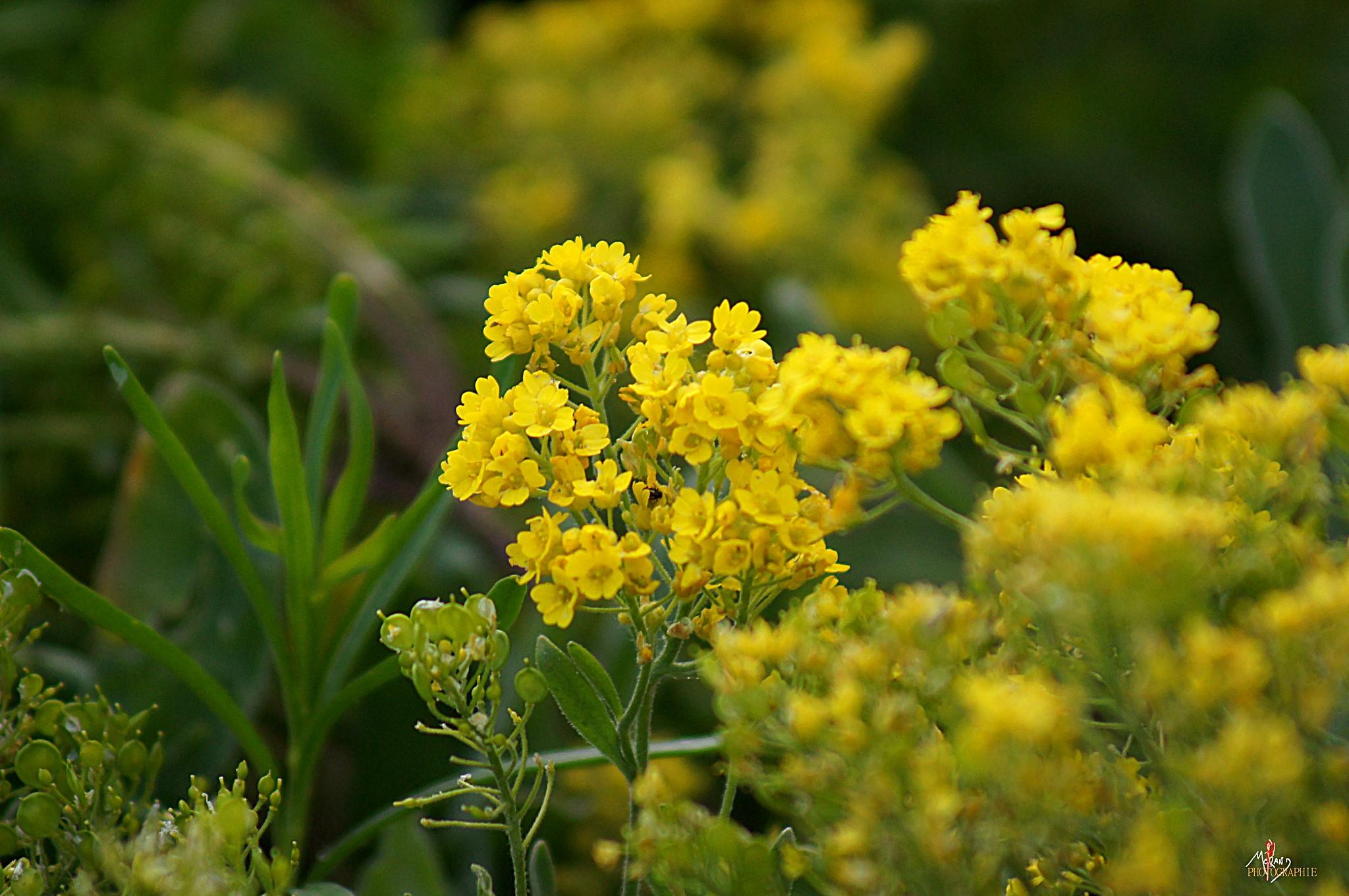 Fleurs jaune printemps flickr photo sharing - Arbuste fleurs jaunes printemps ...