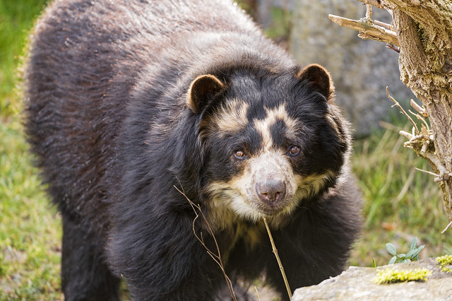 Spectacled Bear Ii Flickr Photo Sharing