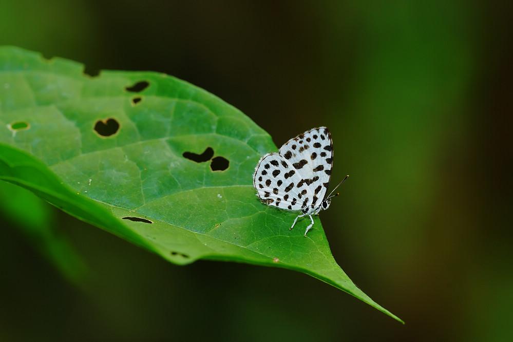 蚜灰蝶屬蚜灰蝶14S104