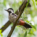 Syrian Woodpecker (Dendrocopos syriacus) by sussexbirder
