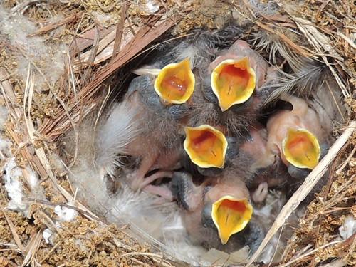 Maaaaamaaaaa.... Hungry Baby Wrens