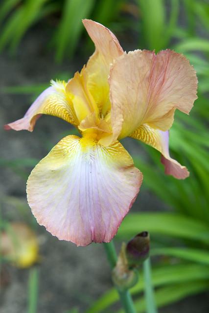 yellow iris. Lviv botanic garden. Ukraine