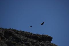 animal, bird of prey, wing, vulture, blue, sky, bird, flight, condor,