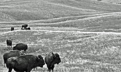 From Another Age, Custer State Park, South Dakota