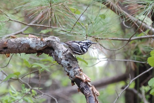 #65 Black and white Warbler (Mniotilta varia)