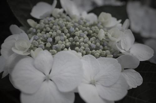 hydrangea kasuka 03