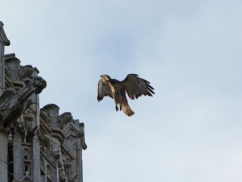 CCNY Hawk (0673)