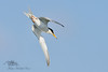 Little Tern (Sternula albifrons) by FalcoWildlifePhoto
