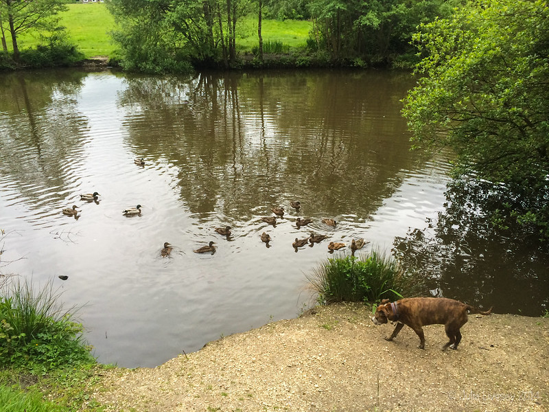 The ducks think Jez has got food for them. Jez thinks the ducks are food for her.