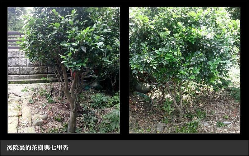後院裏的茶樹與七里香