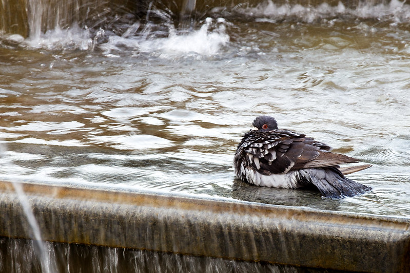 street pigeon in fountain