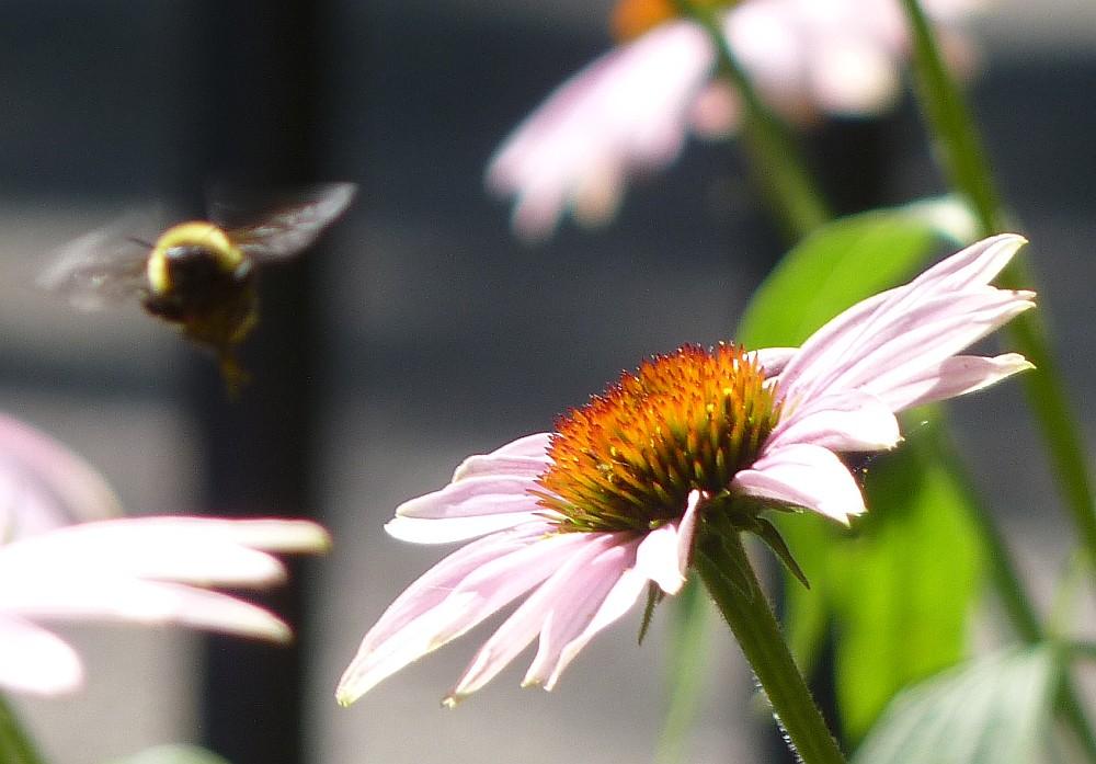 bumble bee echinacea (3)
