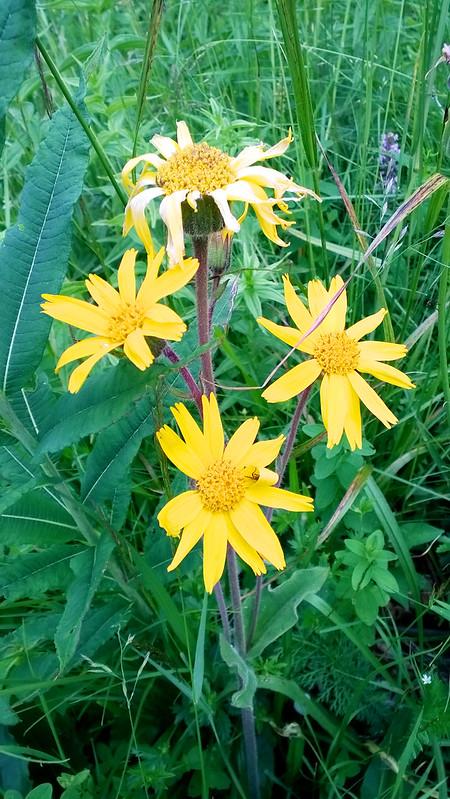 wild flower. Trostyan, Carpathians, Ukraine