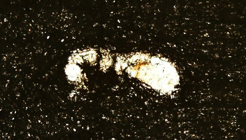 silhouette of specimen that reveals no useful diagnostic characters
