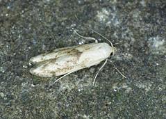 41.003 Wakely's Dowd - Blastobasis lacticolella