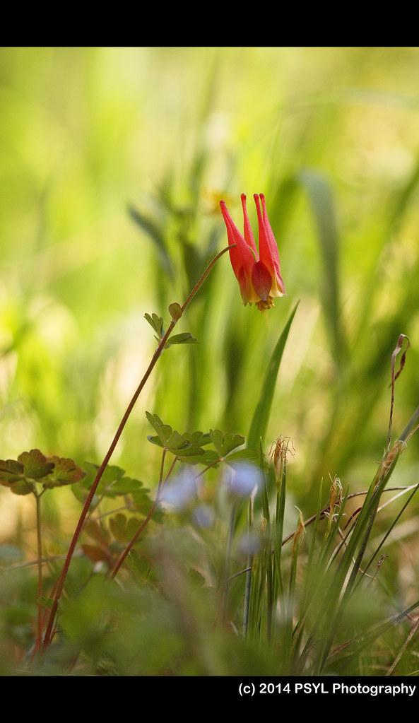 Red columbine (Aquilegia elegantula)