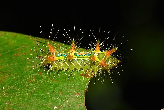 No.3 Stinging Nettle Slug Caterpillar (Cup Moth, Limacodidae)