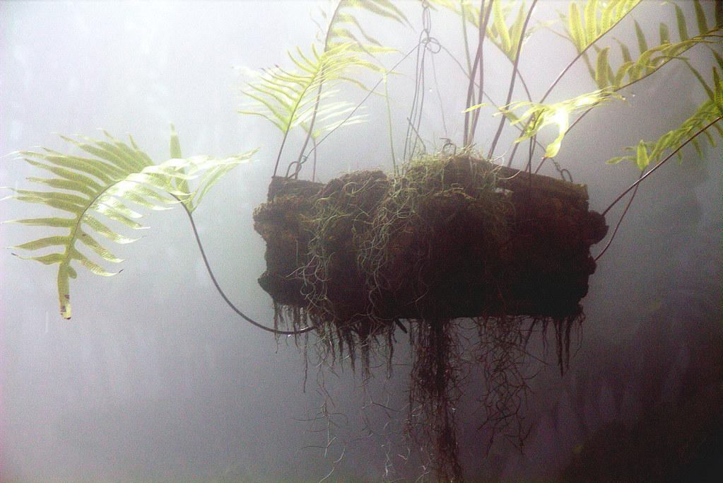 los helechos suspendidos bajo una microlluvia artificial