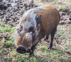 animal, wild boar, domestic pig, pig, fauna, pig-like mammal, warthog, pasture, wildlife,