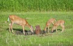 doe 2 fawns deer 4629 - Uploads from NorthernMinnesotaPhoto - sweetwaterphotoonline.com
