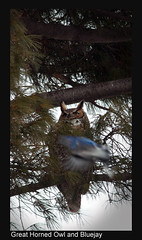 Great Horned Owl and Bluejay Final