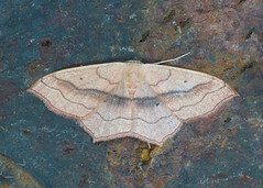 1690 Small Blood-vein - Scopula imitaria