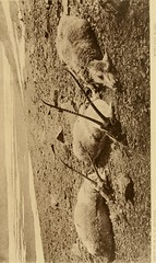 "Image from page 118 of ""Horn measurements and weights of the great game of the world: being a record for the use of sportsmen and naturalists"" (1892)"