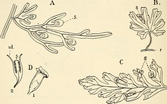"Image from page 391 of ""The structure and development of mosses and ferns (Archegoniatae)"" (1918)"