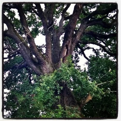 Le grand chêne.