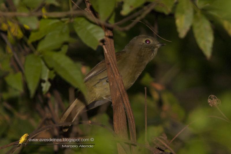 Bailarín oliváceo (Greenish manakin) Shiffornis virescens