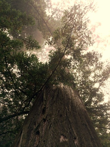 redwood tree tall branches lynnfriedman delnorte california pacificcoasthighway imagebrief uprez edit vertical