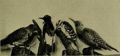 """Image from page 448 of """"Bird lore"""" (1899)"""