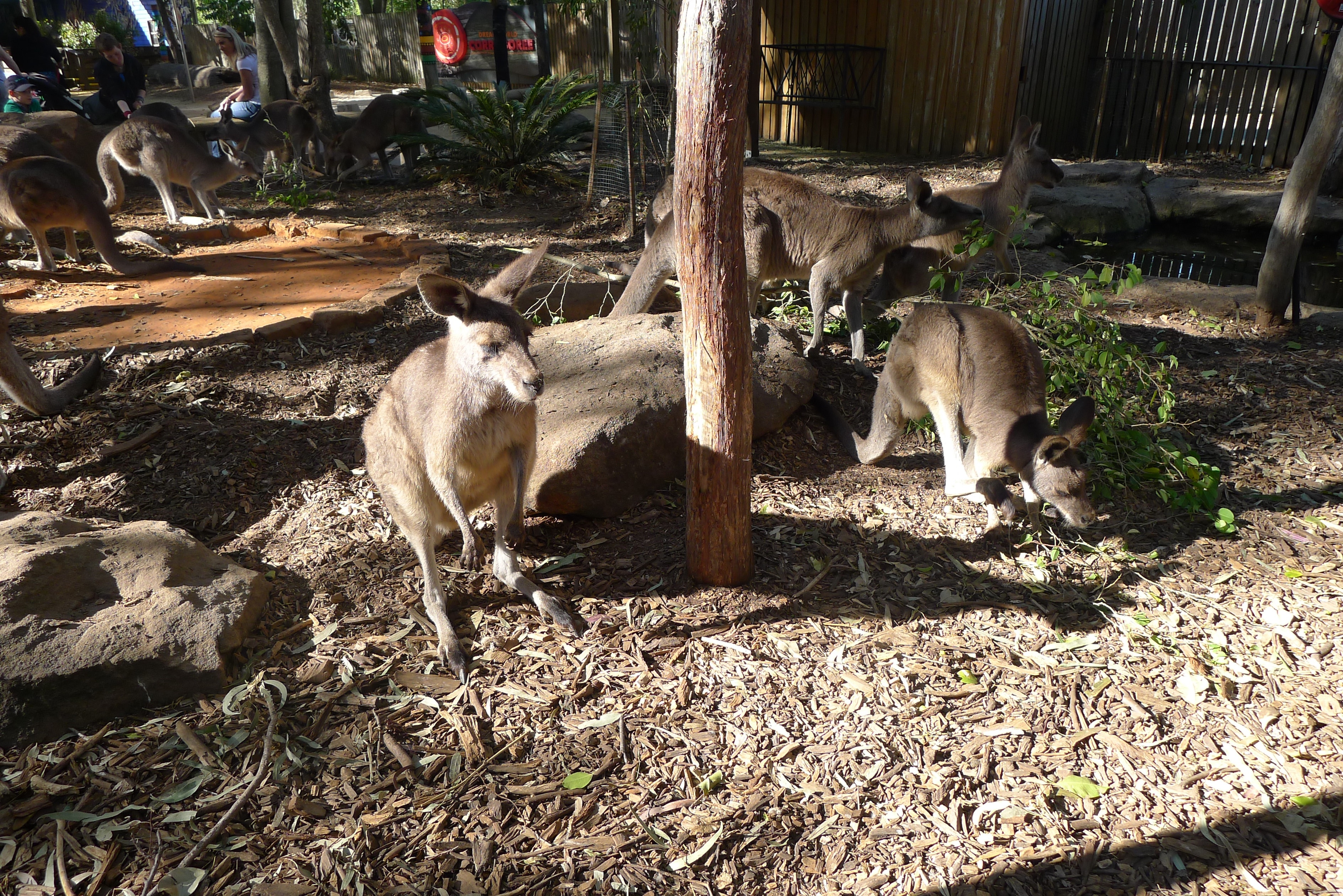 Kangaroos at Dreamworld Gold Coast