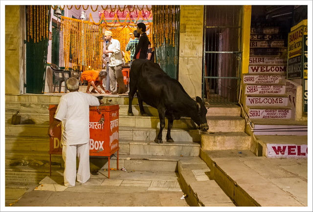 Una vaca en apuros