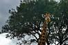 Rhino River Lodge - the Giraffe