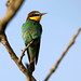 Bee-eater (Jim Higham)
