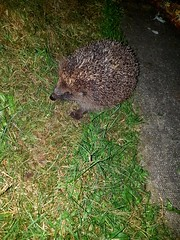 Hedgehog in my garden this morning when I was on my way to work.