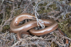 HolderSlow worm