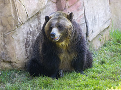 Memphis Zoo 08-31-2016 - Grizzly Bear 1